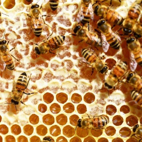 Pszczoły – rasy, postacie, funkcje