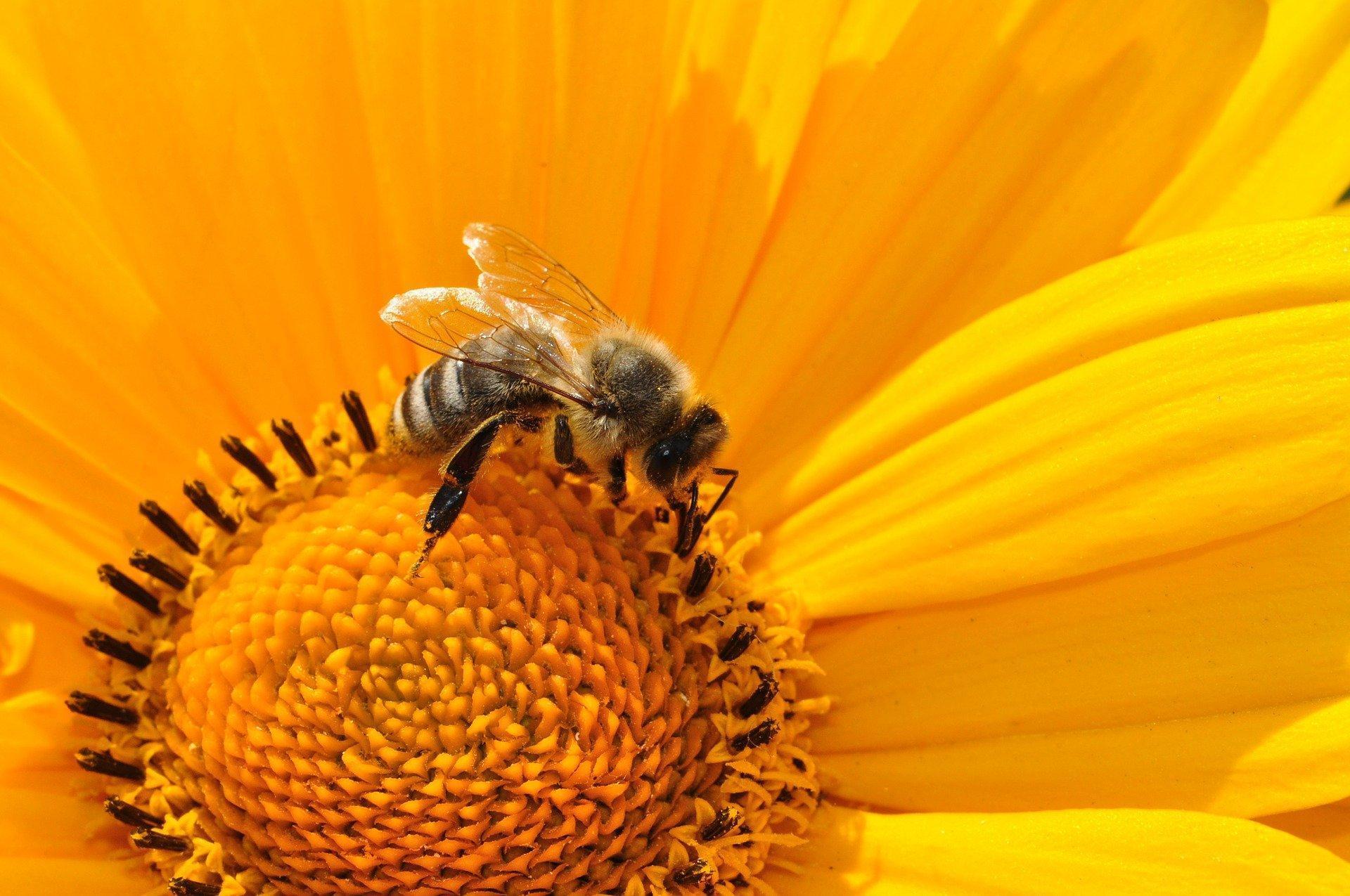 Miód słonecznikowy – właściwości lecznicze